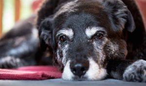 15 секретов молодости вашей собаки.Сьюзан Гарретт.