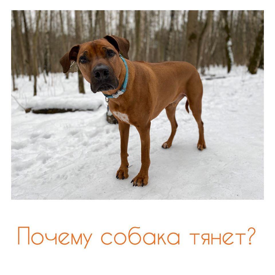 Почему собака тянет поводок?